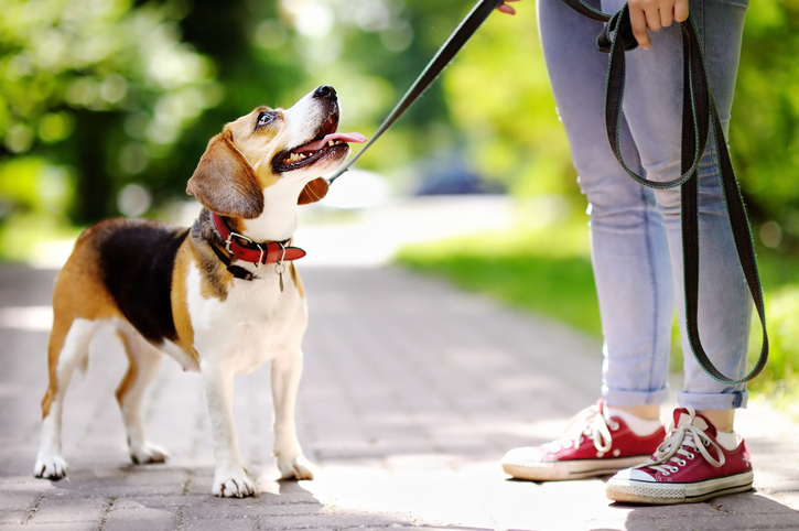 beagle-on-leash-looking-up-at-owner-while-out-for-walk-in-park